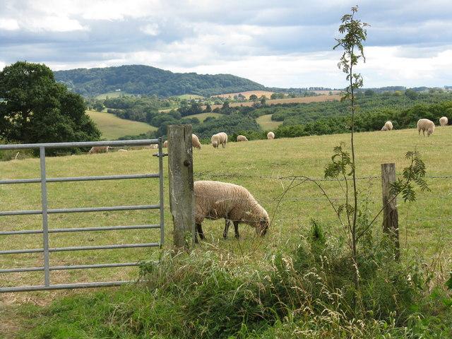 Sheep grazing south of Heightington Road