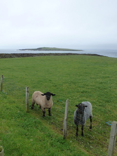 Sandness: two sheep and Holm of Melby