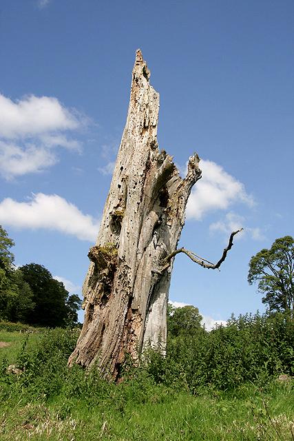 A decaying tree at Borthwickbrae