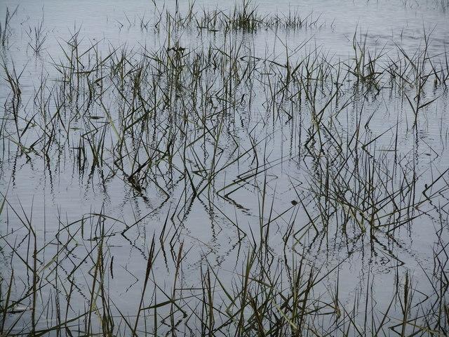 Emergent vegetation, Pagham Harbour