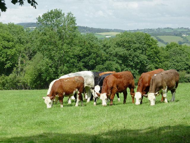 Cattle near  Llwyn-y-Groes, Ceredigion