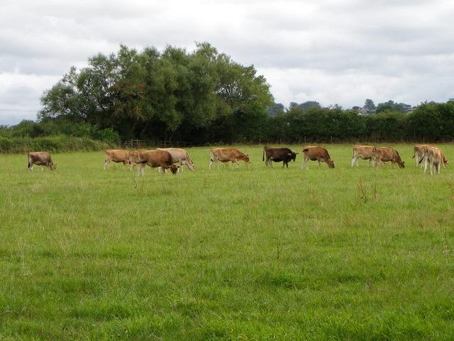 Cattle, Higher Marsh