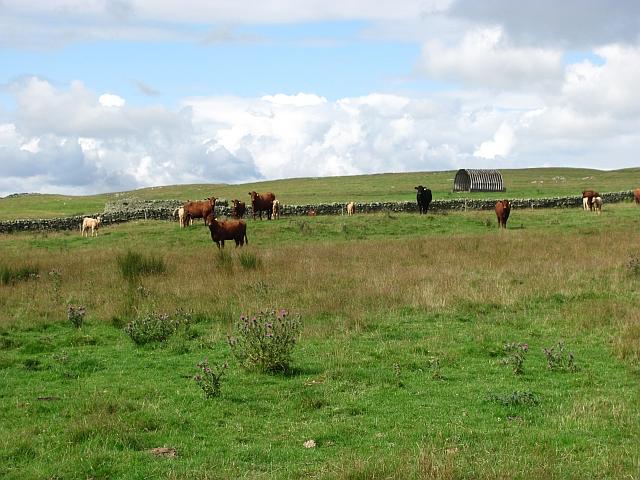 Cattle, Blythe