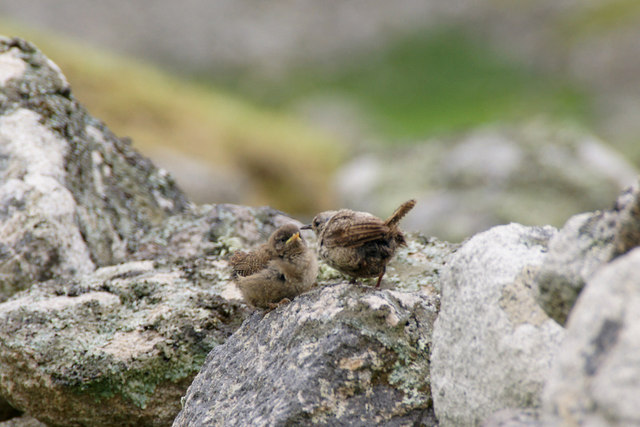 St Kilda Wren (Troglodytes troglodytes hirtensis), Village Bay, St Kilda