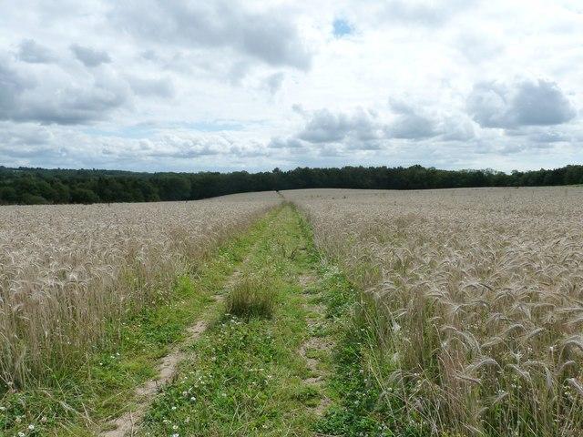 Barley field footpath to Weir Wood
