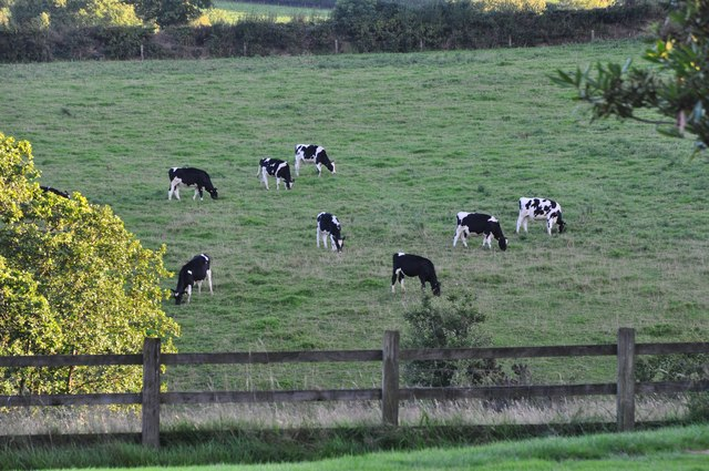 Mid Devon : Cows in a Field