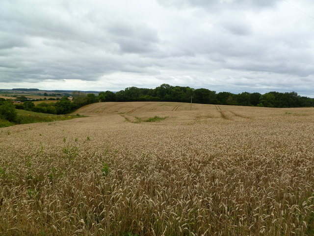 Chalbury, wheatfield