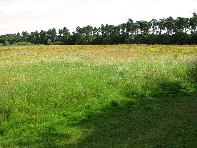 A shelterbelt of pine trees, Eyke