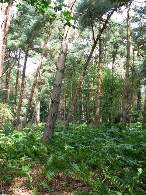 Fir trees and bracken, Minsmere