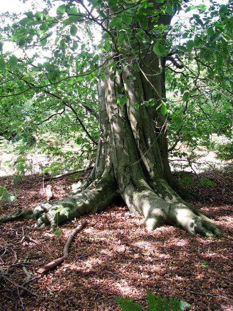 Ancient beech tree beside Minsmere Road