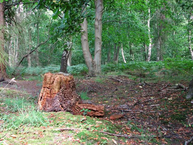 Woodland beside Minsmere Road