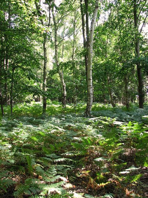 Birch trees and bracken, Minsmere