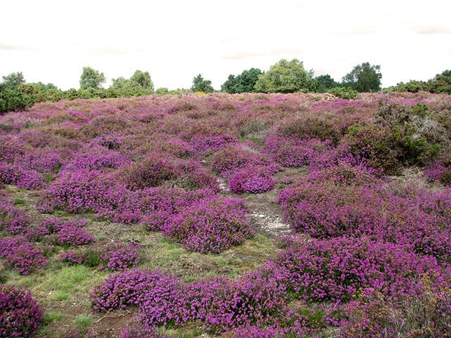 Bell heather (Erica cinerea), Westleton Heath