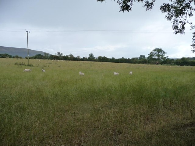 Shropshire sheep pasture