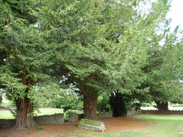 Big old yew trees