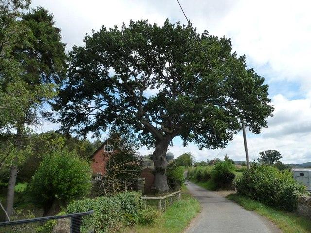 Large roadside tree