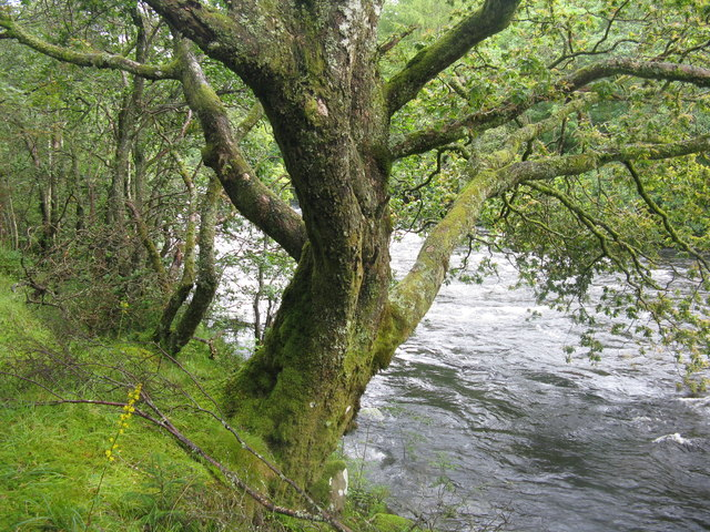 Oak tree by the Garbh Uisge