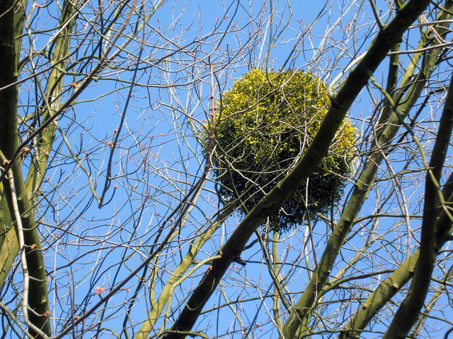 Mistletoe on Tree at the Green, Winchmore Hill, London N21