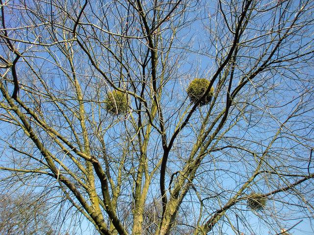 Mistleltoe on Tree at the Green, Winchmore Hill, London N21