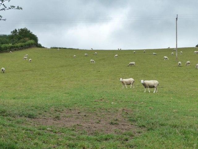 Sheep grazing on the hillside