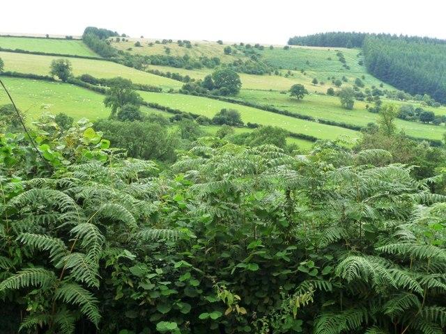 Bracken-filled hedge near The Quern