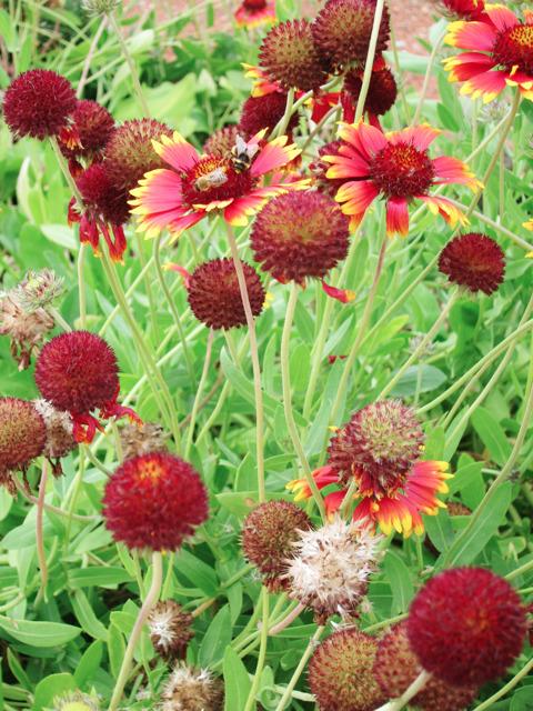 Flowers at Yalding organic gardens