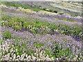 SE6670 : Yorkshire Lavender by bernard bradley