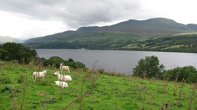 Sheep beside Loch Tay