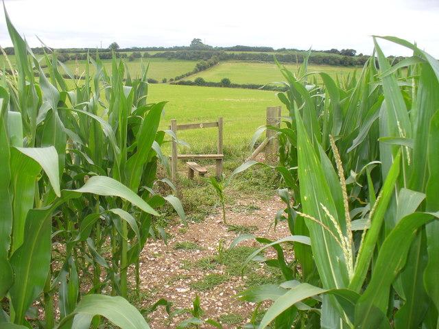 Maize Crop by Gundleton