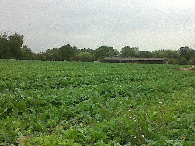 Cabbage field at Egleton