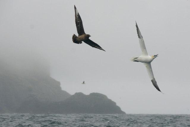 Great Skua (Stercorarius skua) chasing Gannet (Morus bassanus) off Boreray, St Kilda