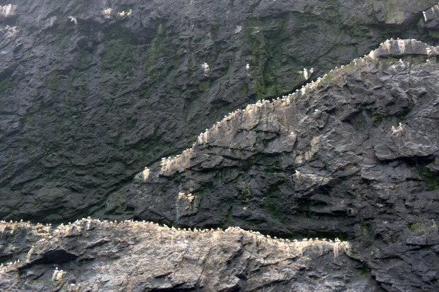 Gannets on Stac Lee, Boreray, St Kilda
