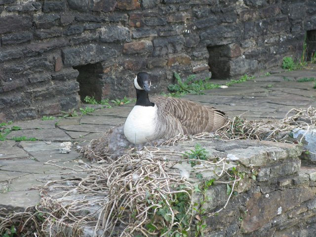 A Canada Goose nesting on the ramparts