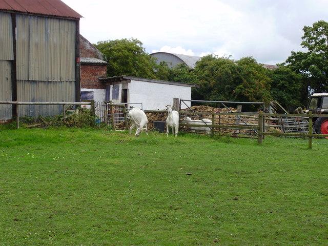 Goats at Manor Farm, Shotwick