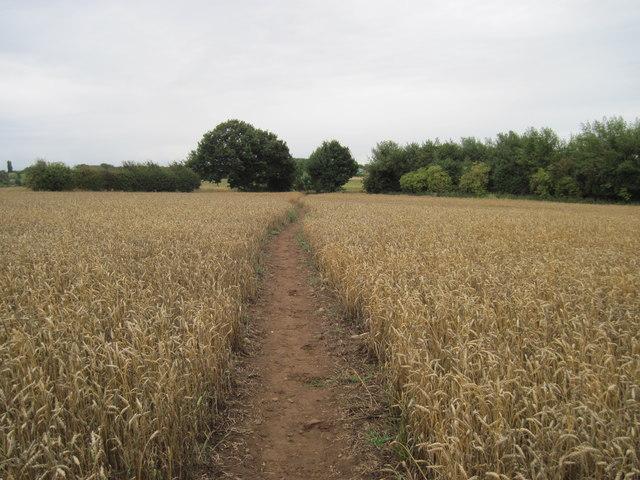 Footpath  through  Wheat