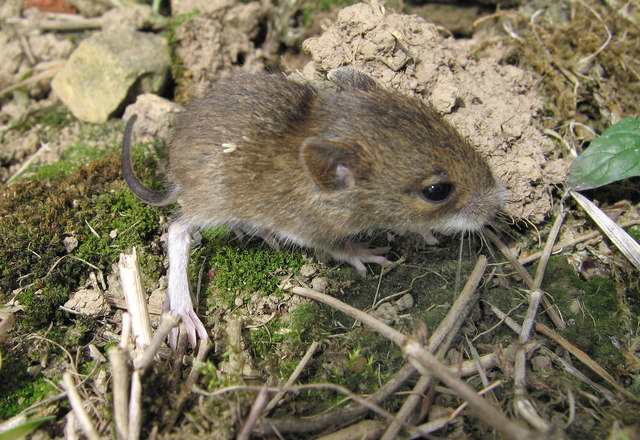 Young Wood mouse (Apodemus sylvaticus)