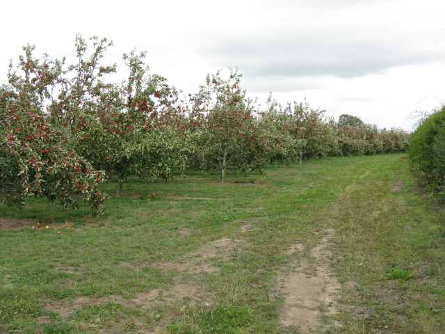 Apple orchard near Ledicot