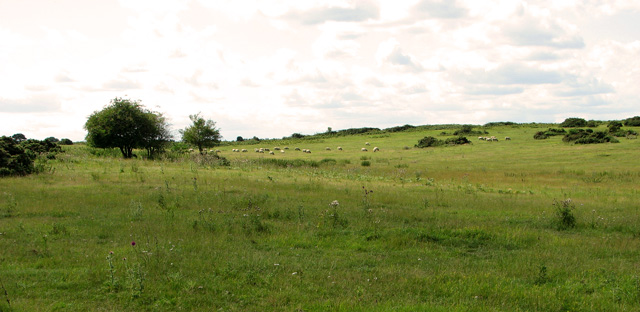 Sheep grazing by Broom Covert, Leiston