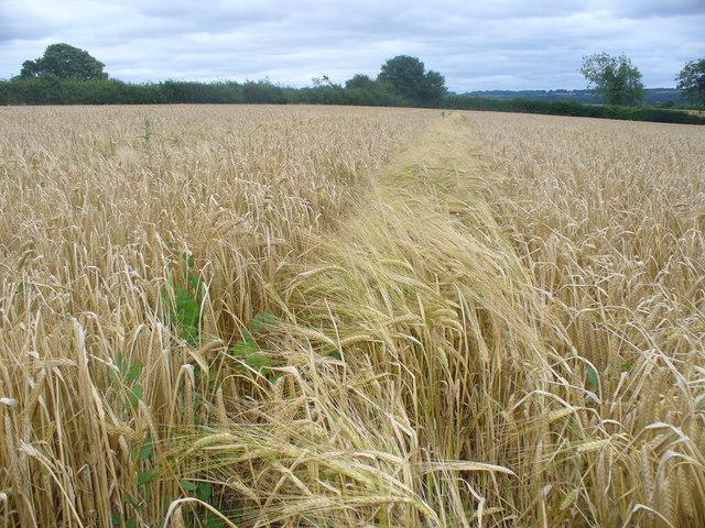 Barley Breeze