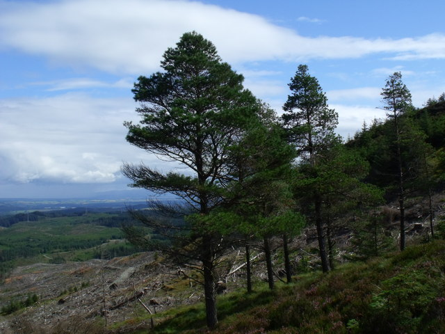 Native Scots Pine on the upper edge of clearfell in Loch Ard Forest near Aberfoyle