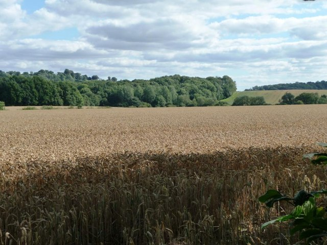 Wheat field east of Squirrel Lane