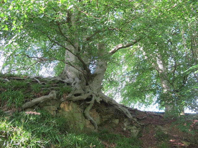 Beech tree with exposed roots near Cat Crags