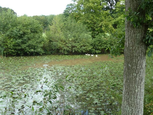 Geese on overgrown pond near Nunnery Wood