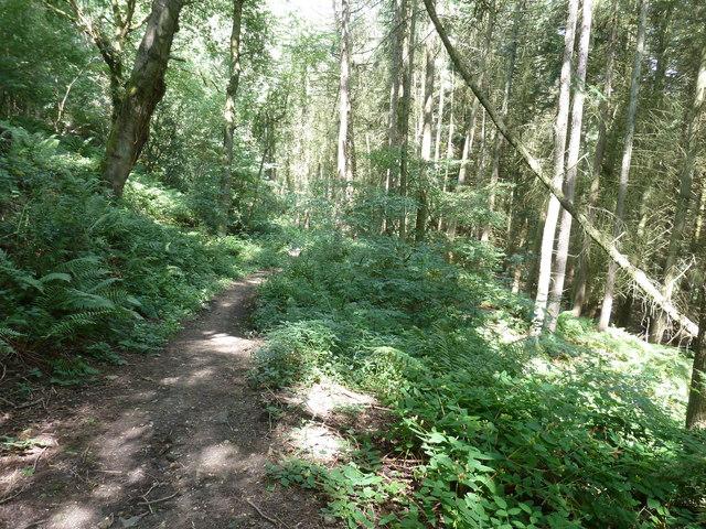 Conifers on the slopes in Alder Wood