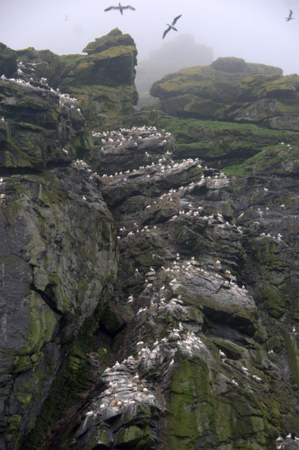 Gannets on the east coast of Boreray, St Kilda