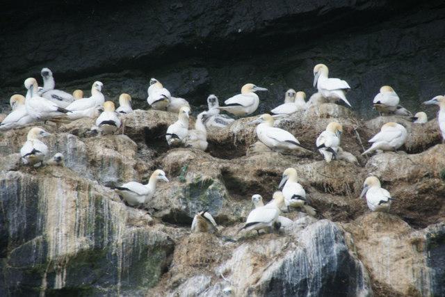 Gannets (Morus bassanus) on Boreray, St Kilda