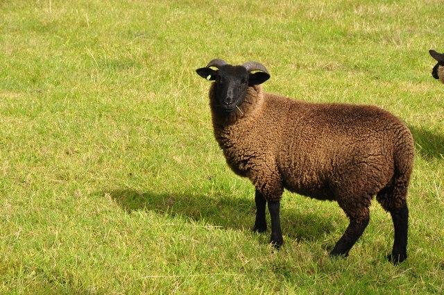 West Somerset : Black Sheep