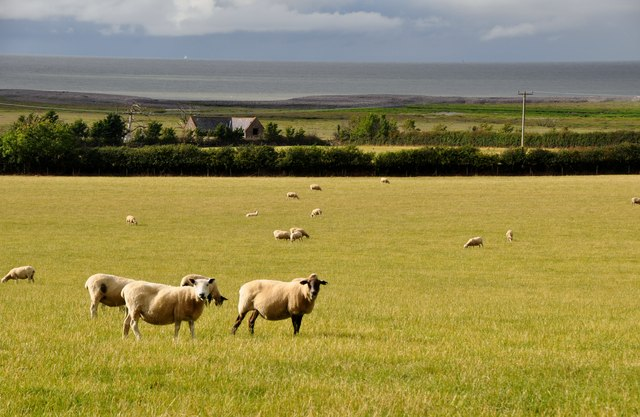 West Somerset : Sheep in a Field