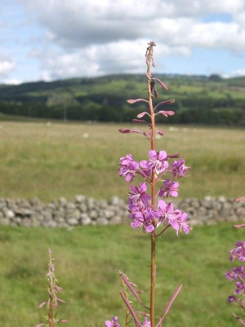 A flowering spike of Rosebay Willowherb