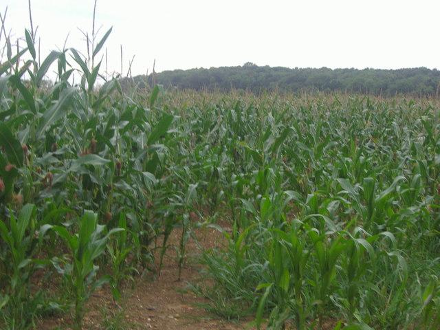 Maize growing in field by Warren Lane